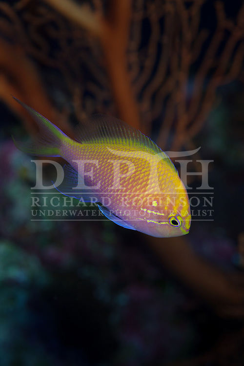 Serranocirrhitus latus (Hawk Anthias) also known as the Hawkfish Anthias, Fathead anthias, or sunburst anthias at North Minerva Reef also known as Teleki Tokelau a disputed territory in the South Pacific between Tonga and Fiji.<br /> Sunday 18 January 2015<br /> Photograph Richard Robinson © 2015