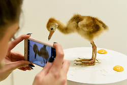 """© Licensed to London News Pictures. 31/03/2017. London, UK.  Taxidermy artist Elle Kaye takes a photo of her work called """"Oops (I Made It)"""", 2017, a taxidermy baby crane.   Opening day of The Other Art Fair, presented by Saatchi Art, which runs until 2 April in Bloomsbury.  The fair is collection of artworks by 120 emerging artists selected by a committer of art experts including Lulu Guinness OBE, Kate Bryan, Head of Collections at Soho House Group, and Rebecca Wilson, Chief Curator of Saatchi Art. Photo credit : Stephen Chung/LNP"""