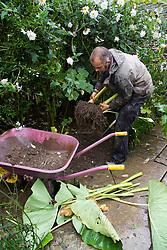 Overwintering Colocasia esculenta. Lifting into wheelbarrow