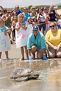 Volunteers watch a rehabilitated Green sea turtle crawl back into the Atlantic ocean during the release of rescued sea turtles May 14, 2015 in Isle of Palms, South Carolina. The turtles were rescued along the coast and rehabilitated by the sea turtle hospital at the South Carolina Aquarium in Charleston.
