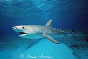 juvenile tiger shark, Galeocerdo cuvier, Bimini, Bahamas ( Western Atlantic Ocean )