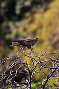 Indian Black Kite raptor bird, Milvus Migrans, perched in the treetops by Lake Pichola, Udaipur, Rajasthan, India