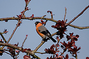 Bullfinch - pyrrhula pyrrhula - brightly coloured garden bird