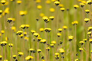 Field of Wooly Hawkweed (Hieracium triste) near Valdez In Southcentral Alaska. Summer. Morning.