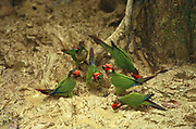 Painted Parakeets at Clay Lick<br />Purrhura picta<br />Madre de Dios, (Manu Wildlife Center) Amazon Rain Forest<br />PERU.  South America<br />Range; Panama to Brazil