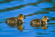 Baby canada geese swimming