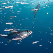 Yellowfin tuna (Thunnus albacares) hunt scad off Guadalupe Island, Mexico