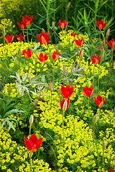 Tulipa sprengeri Trotter's form growing through Euphorbia cyparissias at Bob Brown's Cotswold Garden Plants