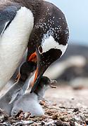 Gentoo penguin (Pygoscelis papua) feeding its juveniles at Saunders Island, the Falklands.