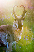 Buck Pronghorn (antelope) in habitat with lens flare.