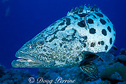 potato cod grouper, Epinephelus tukula, The Cod Hole, Ribbon Reefs, Great Barrier Reef, Australia ( Western Pacific Ocean )