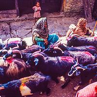 Colorful goats walk through Ghandrung, Nepal.