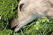 Dead deer by country road, Charlbury, Oxfordshire, United Kingdom