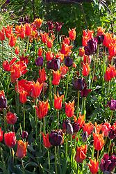 Tulips in the cutting garden. Tulipa 'Ballerina', 'Queen of Night', 'Comet' and 'Victoria's Secret'