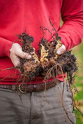 Dividing rhubarb crowns in autumn