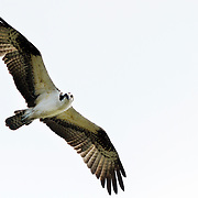 An osprey fly's overhead while at Sea Pines Forest Preserve on Hilton Head Island on March 20, 2015.
