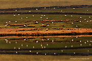 Even though the light had almost disappeared, well certainly gone flat, I was amused by the sheep and their reflections in the still lake water, little woolly stars :-)