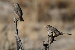 Sage thrasher on perch, Ladder Ranch, west of Truth or Consequences, New Mexico, USA.