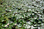 A lot of water lilies in a pound