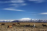 Icelandic horses graze along the south coast of Iceland