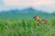 Adult Swift fox (Vulpes velox) with pups at a grasslands den site.