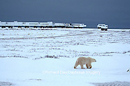 Polar Bear (Ursus maritimus), Tundra Buggy Lodge & Tundra Buggies   Churchill  MB