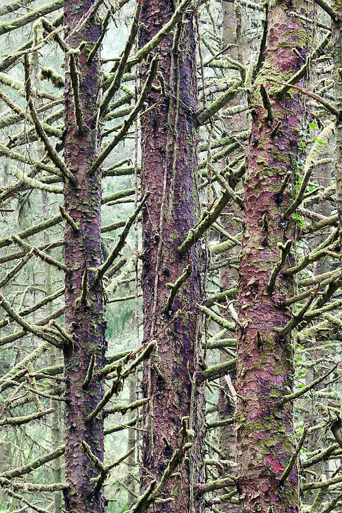 Moss-covered sitka spruce trees near Crescent Beach, Ecola State Park, Oregon, USA.