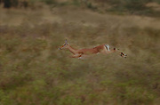 Impala fleeing from predator, Serengeti National Park, Tanzania.
