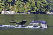 Humpback Whale (Megaptera novaeangliae) - Canada