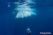 Bryde's whale, Balaenoptera brydei or Balaenoptera edeni, feeding on baitball of sardines, with throat pleats expanded, off Baja California, Mexico ( Eastern Pacific Ocean ); photographer Brandon Cole at bottom of frame #4 in sequence of 6; MR 399