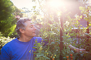 Senior adult man picking tomatoes in backyard.