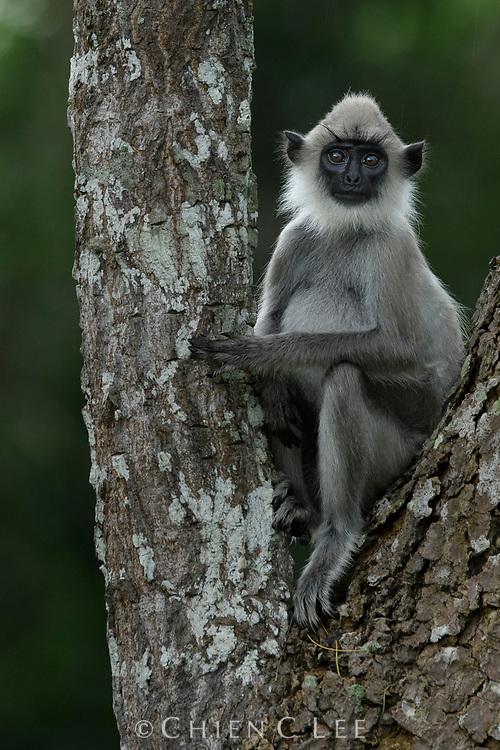 Sri Lankan Grey Langur (Semnopithecus priam thersites). Yala National Park, Sri Lanka.