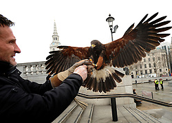 © Licensed to London News Pictures. 13/03/2012. London, UK. Lizzie lands on Wayne's arm.  Wayne Parsons flies Lizzie, aged 3, the American Harris Hawk in London's Trafalgar Square today. Wayne and Lizzie are employed by the Greater London Authority to control the pigeon population in the famous square. Lizzie was reared from birth by Wayne but not 'imprinted', meaning she retains her natural ability to hunt. Lizzie only catches 5 or 6 pigeons a year as the very site of her scares them away.  Photo credit : Stephen SImpson/LNP