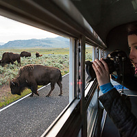 "Due to the park's popularity, traffic jams are not uncommon in Yellowstone, especially when a bear is spotted and many people stop their vehicles or park illegally to get a view. We encountered one of the more pleasant types of traffic jams, an early morning bison jam, where we had no choice but to drop the windows on the Yellowstone Forever bus and happily click away until the ""traffic"" passed us by."