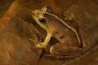 Frog.  Unidentified species from the forest floor.