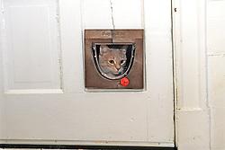 Cat Looking Through Cat Door