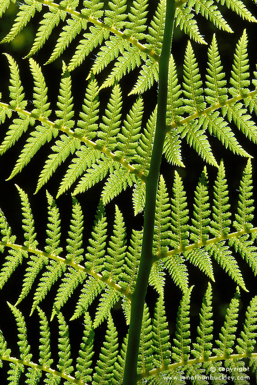 Sunlight on the leaf of Dicksonia antarctica - tree fern