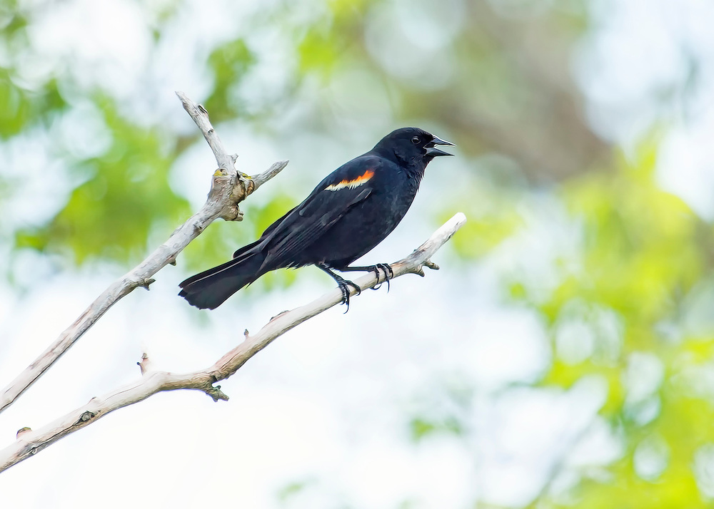A Red-Winged Blackbird perched on a branch under a canopy of summer green