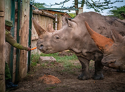 """Four months after the ground-breaking first """"ovum pickup"""" in August 2019 the team<br /> repeated the procedure with northern white rhinos Najin and Fatu on December 17,<br /> 2019, at the Ol Pejeta Conservancy in Kenya. The animals were placed under general anesthetic and nine immature egg cells (oocytes) – three from Najin and six from Fatu – were harvested from the animals' ovaries using a probe guided by ultrasound.<br /> The anesthesia and the ovum pickup went smoothly without any complications. The<br /> oocytes were transported immediately to the Avantea Laboratory in Italy. After<br /> incubating and maturing 9 eggs, 4 from Fatu and 1 from Najin were fertilized with a<br /> sperm using a procedure called ICSI (Intra Cytoplasm Sperm Injection). Out of the 5<br /> eggs fertilized 1 from Fatu developed into a viable embryo and this has been<br /> recorded for the first time with time lapse cinematography in a Geri incubator. This<br /> process has been conducted for the first time with a """"Geri-Embryo Development<br /> Device"""" donated by Merck Healthcare to Avantea, a member of the BioRescue<br /> consortium. The embryo is now stored in liquid nitrogen along with the 2 embryos<br /> from the first procedures.(Photo by Ami Vitale)"""
