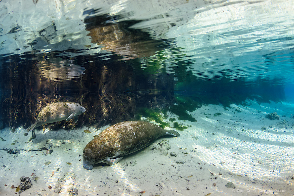 A young manatee calf has its mother resting near the submerged cypress tree roots in the crystal clear water at Three Sisters Springs, It is fall, prior to the cooling of the winter season in Florida.These two manatees are early arrivals to the springs before the multitude of other manatees arrive for the winter warming season. Mother manatee sometimes bring their calves to the wintering sites early to familiarize their little ones with all the nooks and crannies. Crystal River National Wildlife Refuge, Kings Bay, Crystal River, Citrus County, Florida USA. Florida manatee, Trichechus manatus latirostris, a subspecies of the West Indian manatee, IUCN Endangered but proposed downlisting to Threatened by USFWS for 2017: http://www.iucnredlist.org/details/22106/0.