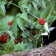 Striped Skunk, (Mephitis mephitis) Young skunk foraging for insects on rotting stump.Ripe elderberries above.  Captive Animal.