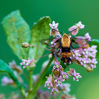 Snowberry Clearwing Moth at the Sourland Mountain Reserve. Image taken with a Nikon D3x and 500 mm  f/4 VR lens (ISO 200, 500 mm, f/4, 1/160 sec). Raw image processed with Capture One Pro, Focus Magic, Nik Define, and Photoshop CS5.