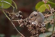 Wood mouse (Apodemus sylvaticus) feeding on dessicated brambles.