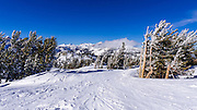 Rime ice on pines at Mammoth Mountain Ski Area, Mammoth Lakes, California USA