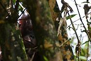 A wild young male Bornean Orangutan (Pongo pygmaeus morio) contemplates the world in the Sepilok Orangutan Rehabilitaion Center, Sabah, Malaysia.