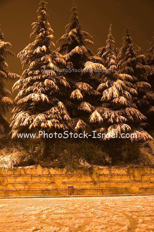 Israel, Jerusalem, Commonwealth World War I cemetery on Mt. Scopus, tree covered with snow Winter, January 2007