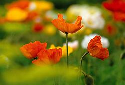 Papaver nudicaule 'Meadow Pastels' syn. Papaver croceum - Arctic poppy, Icelandic poppy