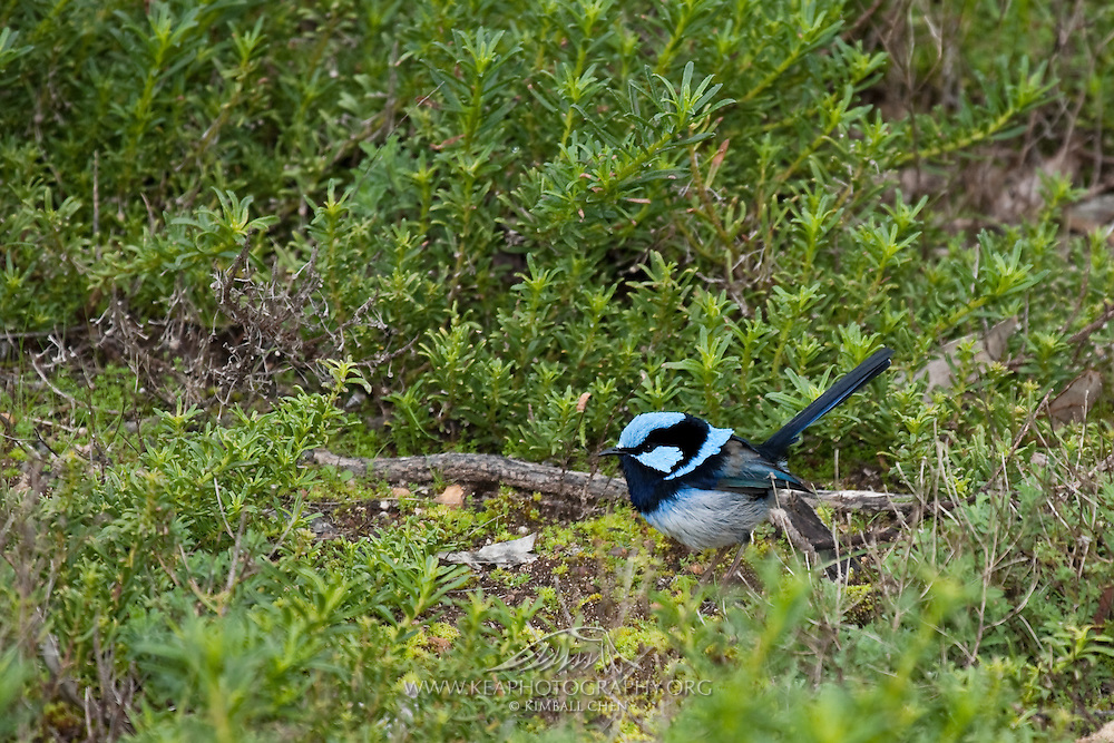 A superb fairy-wren will mimic rodents to lure predators away from nests!  It does this by dropping flat on the ground, with wings to the side and the tail lowered, and scuttling off like a mouse.