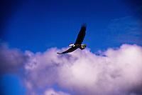 Bald eagle, Tofino, British Columbia, Canada