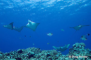 schooling spotted eagle rays, Aetobatus narinari, at Ice Cream Bommie, Saipan, Commonwealth of Northern<br /> Mariana Islands, Micronesia ( Western Pacific Ocean )
